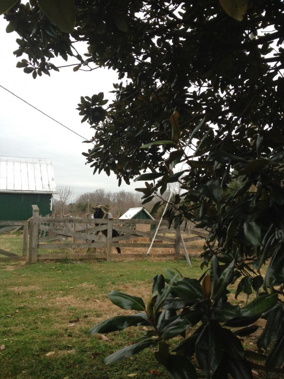 This is our magnolia tree. The goats love to eat magnolia leaves. Edward, our buck is waiting for me to give him some.