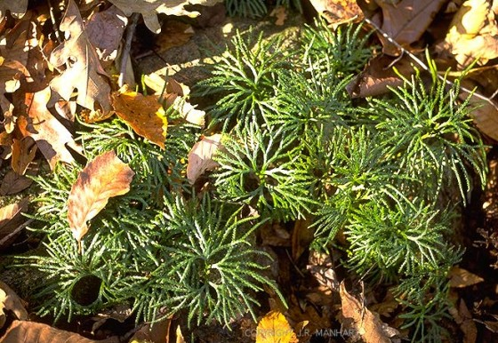 Running cedar- Just in case you wanted to know what it looks like. It grows on the ground like a vine. You pull it up like you would ivy, in long pieces. It takes a lot to make a full wreath.