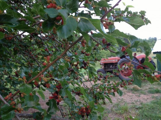We have five Mulberry trees on the farm.