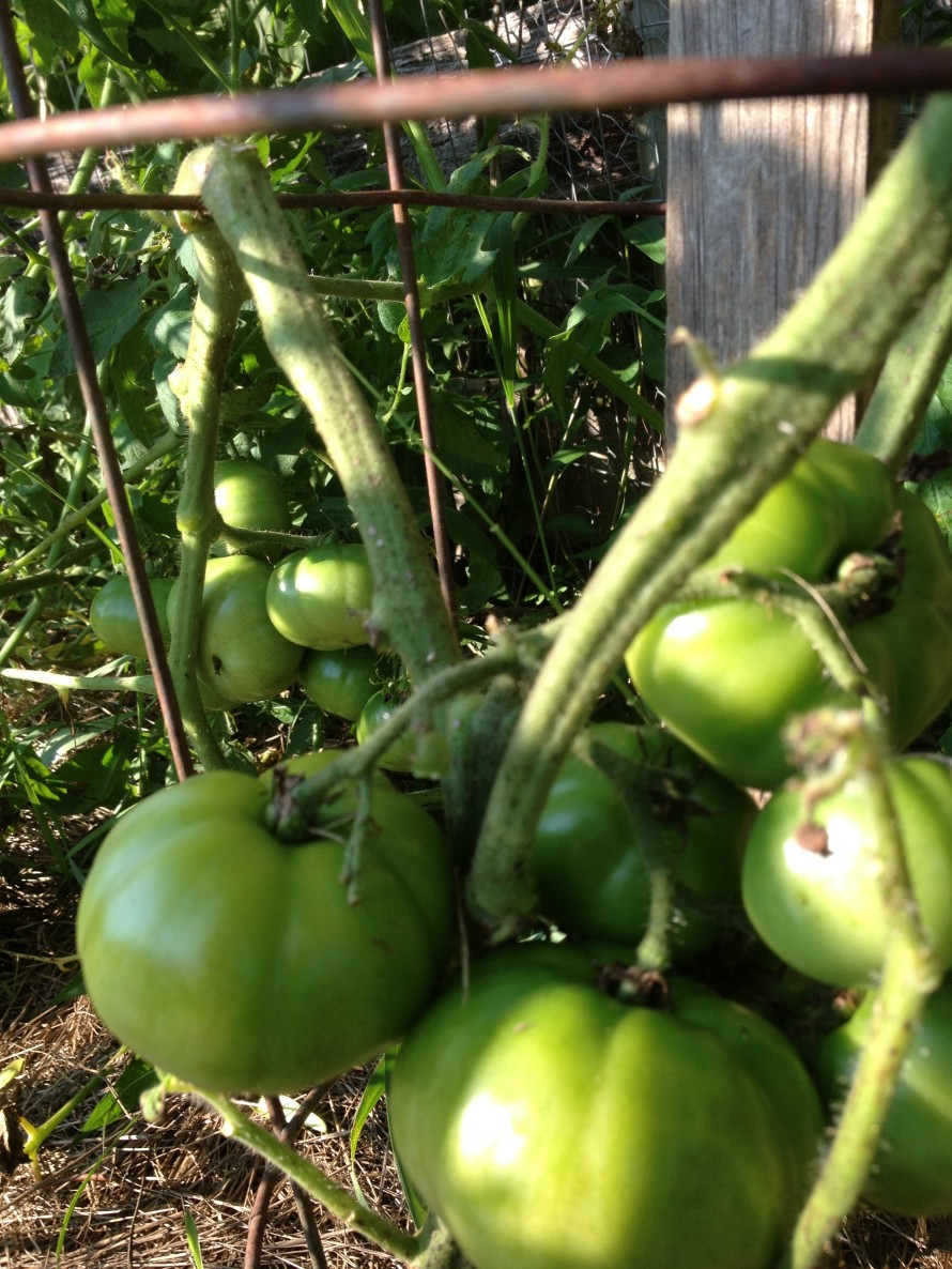 Mostly green tomatoes all summer