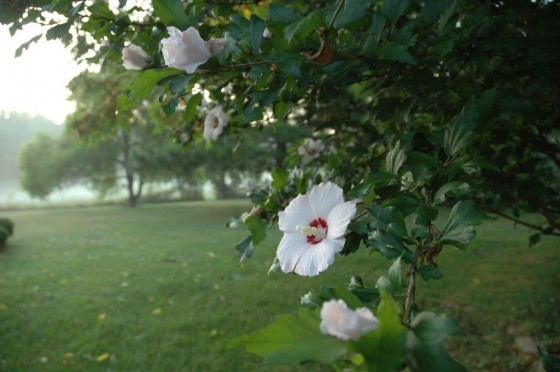 We have white, pink and purple Rose of Sharon bushes
