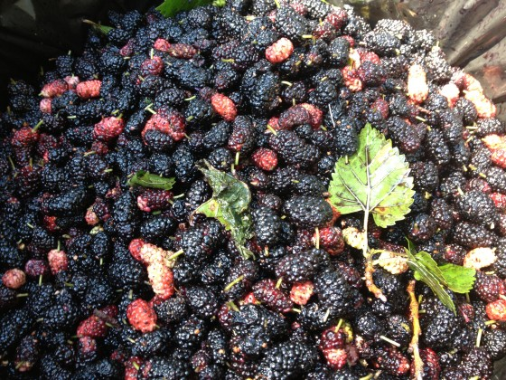 Dale harvested 30 gallons of mulberries  in two days! 4 hours of labor. There's a ton left to harvest!
