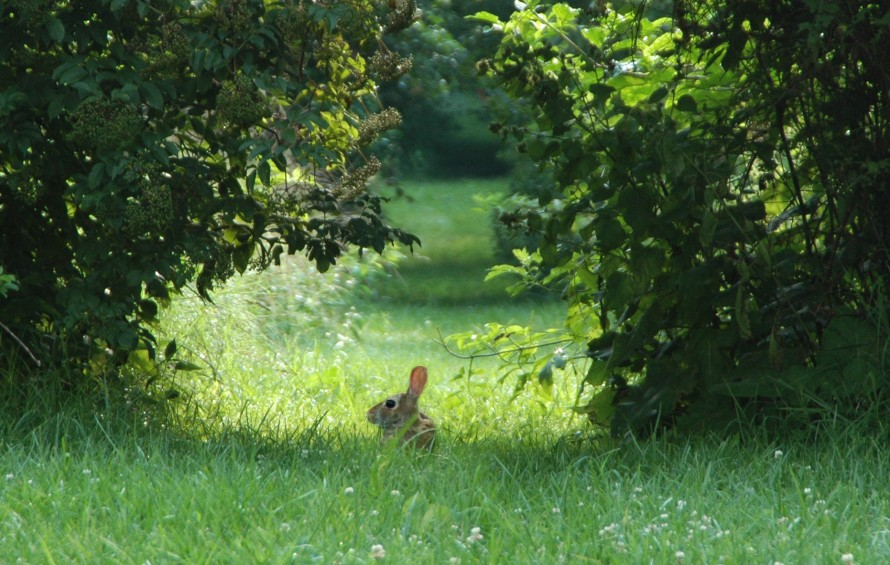 Elderberry bush hanging over bunny