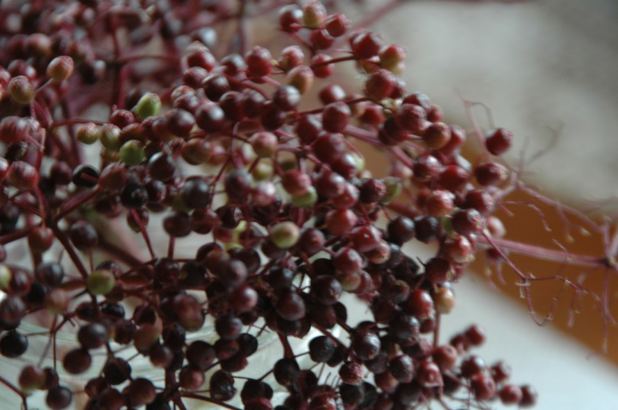 A Elderberry bunch- the unripe ones and the stems are dangerous to eat. Only use the ripe berries, the black ones