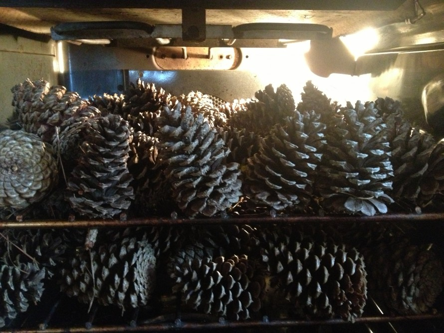 Pinecones_in_oven_open