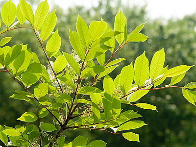 Poison Ivy Poison Sumac And Poison Oak 10 Facts You Must